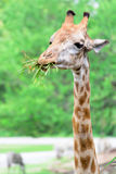 Giraffe long neck Royalty Free Stock Photos