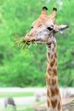 Giraffe long neck Royalty Free Stock Photos