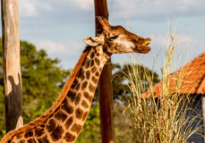 Giraffe. Long Neck Giraffe Grazing on Grass Royalty Free Stock Photos