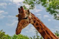 Giraffe head with blu sky in background. Giraffe long neck and head with blu sky in background Stock Images