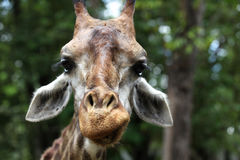 Giraffe with a long neck, Thailand Stock Images
