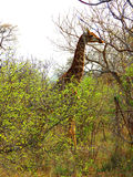 Giraffe with long neck Stock Photos