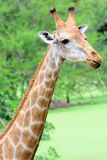 Giraffe long neck Stock Photos