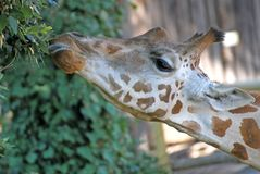 Giraffe long necked while eating the leaves 1 Royalty Free Stock Photography