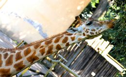 Giraffe with long necked while eating the leaves 3 Stock Photo