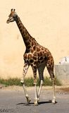 Giraffe long necked while walking Royalty Free Stock Photography