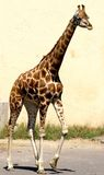 Giraffe with long necked while walking Royalty Free Stock Images