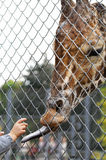 Giraffe with long tongue outside the fence Stock Photo