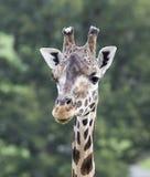 Giraffe at Longleat Royalty Free Stock Photography