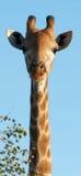 Giraffe longo da garganta imagem de stock