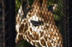 Giraffe look through a lattice Royalty Free Stock Photography