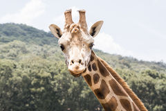 Giraffe Look Royalty Free Stock Photos