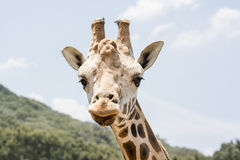 Giraffe Look Stock Photo