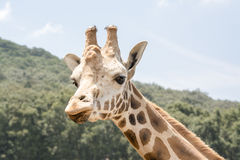 Giraffe Look Stock Image