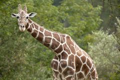Giraffe Looking Royalty Free Stock Images