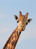 Giraffe Looking Royalty Free Stock Photos