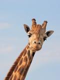 giraffe looking Στοκ φωτογραφίες με δικαίωμα ελεύθερης χρήσης
