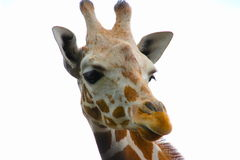 Giraffe. Looking away from you Royalty Free Stock Photos