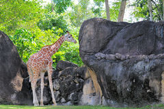 Giraffe Looking at Boulder Royalty Free Stock Photography