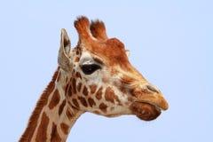 Giraffe looking into camera Stock Photos
