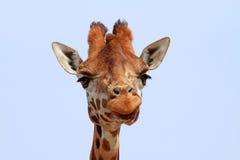 Giraffe looking into camera Royalty Free Stock Photo