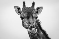 Giraffe looking at the camera in black and white. Stock Image