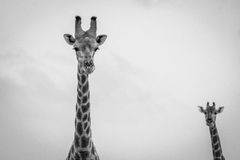 Giraffe looking at the camera in black and white. Royalty Free Stock Images