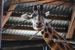 Giraffe looking at camera with grin on face. Close up of its head with one ear back and one sticking out to side stock photo