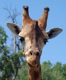 Giraffe. Looking at camera Royalty Free Stock Images