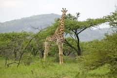 Giraffe looking into camera in Umfolozi Game Reserve, South Africa, established in 1897 Royalty Free Stock Image