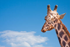 Giraffe looking in the distance Stock Photo