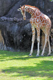 Giraffe Looking Down Stock Photos