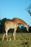 Giraffe looking down Stock Photos