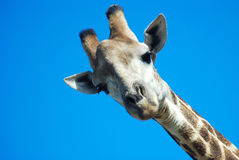 Giraffe looking down royalty free stock image
