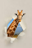 Giraffe looking through a hole torn the paper Royalty Free Stock Images