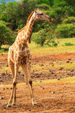 Giraffe looking left with tongue out. Full portrait of a griraffe looking left with his tongue out royalty free stock image