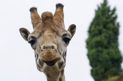 Giraffe. Looking at me Royalty Free Stock Photos
