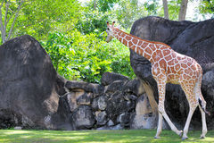 Giraffe Looking Over Boulders Royalty Free Stock Photo