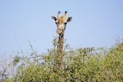 Giraffe Looking over a Bush Royalty Free Stock Image