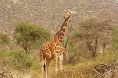 Giraffe looking. At passers by Royalty Free Stock Images