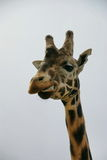Giraffe looking at you Stock Photos