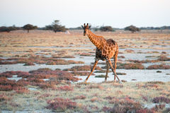 Giraffe is looking into photographer at Etosha National Park Stock Photography