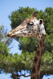 Giraffe looking sideways Royalty Free Stock Photography