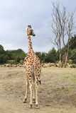 Giraffe looking at the tree. Stock Images