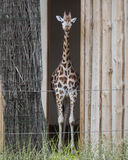 A giraffe looking for visitors in zoo. Locked giraffe in zoo is looking for visitors stock image