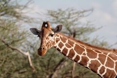 Giraffe looking at you. From side of frame royalty free stock image