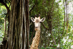 Giraffe. Looking at you, Zoo,  Singapore Stock Photo