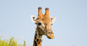 Giraffe on lookout Royalty Free Stock Photo