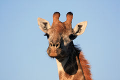 The giraffe looks at the camera. Stock Images