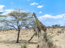Giraffe looks for food at the trees in the serengeti Royalty Free Stock Photos